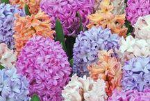 Beauty of Hyacinths