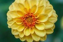 Flores~Dalias.