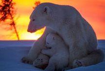 Animals - polar bears / by Glasspetal