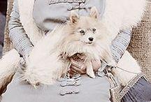 Pom-er-Mania! / Because Pomeranians