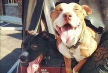 // pitbulls and labs / // doggies!