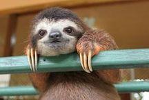 - Entspannte Faultiere - / Faultiere sind einfach die entspanntesten... herrlich, allein der Anblick wirkt beruhigend.