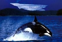 Orca's / Orca's, also called Killer Whales or Blackfish
