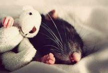 Крыски / Декоративные домашние крысы