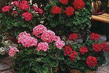 Květinový sad Pelargónie (geran´)