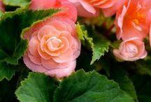 Květinový sad Begónie