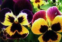 Květinový sad Macešky