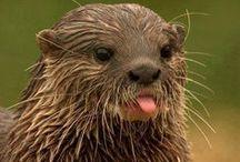 Favorite - Otter
