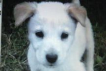 Henry Dog / Henry is my Great Pyrenees/Husky mix rescue from Happy Tails Rescue out of New Hampshire. He's very cute and quite photogenic :-)