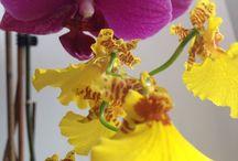 Orchidées / Mes orchidées