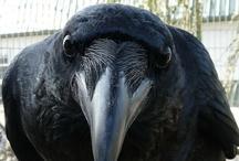 Corbeaux et corneilles -  Ravens  -  Crows  / by Véronique Fauré