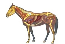 Equine Shiatsu and Anatomy / Some great resources to learn about Equine Anatomy and how Shiatsu can benefit the horse