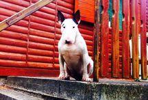 ❤️The Bull Terrier❤️ / Bull Terrier