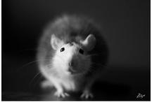Pet's / Perseval petite Rat