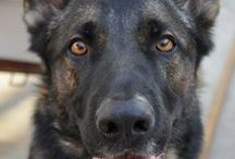 German Shepherds / We have lived with German Shepherds for more than 20 years, and like images of our own and others.
