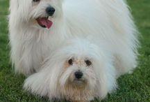 Coton de tulear / Coton de tulear, criadero de perros especializado en esta raza