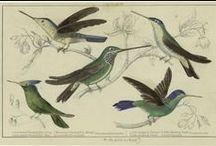 Hummingbirds- colibrì