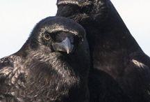 Blackbirds / I'm just kinda obsessed with 'em.