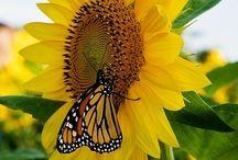 Sumptuous Sunflowers / I like them...