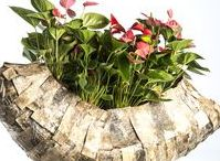 Strong plants - ideas with Anthuriums / Show the beauty of potted Anthuriums with these lovely plant arrangements! Our grower Fuerte Planta makes sure you get the best quality Anthuriums. Be inspired to create different designs.