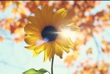 Sunflower / Bundle of sunflowers!