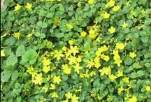 Растения / Растения произрастающие на нашей даче в деревне Красотино и в округе.