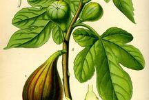 Botanische Zeichnungen