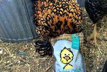 San Diego Back Yard Chickens / Urban Chickens in your back yard.