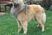 Belgian shepherd tervuren / My dog is Cavan the Stag-Fighter of Night. Callname: Scotty Father: Red Fox Nathan Mother: Yoce Comme un Reve Noir Breeder: Kőváriné Szabó Erzsébet He is cute b