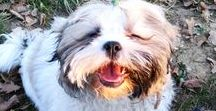 Shih tzu / shih tzu furry friend pet puppy