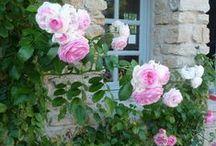 Au jardin ... les roses