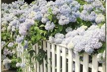 Au jardin ... les hortensias