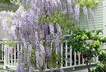 "Au jardin ... la glycine / ""Wisteria Lane"" / by Danièle"