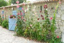 Au jardin ... les roses trémières