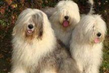 Sheepies / Old English Sheepdogs / by Susan Logan