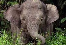 Lifanten