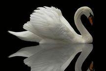 лебеди  swan