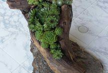 Le succulente