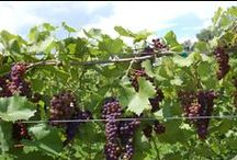 Northern Grapes = Hardy Grapes / Victory View Vineyard in North Easton grows cold-climate, French American hybrid grapes at our farm winery.
