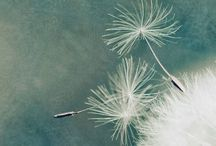Weeds or wishes? / The beauty of dandelions in photos.