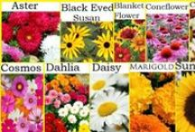 Asteraceae, Compositae, Coreopsis, Aster, Dahlia, Daisy, Coneflower, Echinacea, Sunflower / Asteraceae, Aster, Compositae, Coreopsis,Cosmos, Coneflower,Chrysanthemums, Dahlia, Daisy, Echinacea, Marigolds Sunflowers and Zinnias are all part of the same family - the DAISY FAMILY (Compositae). Bloom in summer and fall, forming a showy, upright clump which is a favourite feeding station for many butterflies. I find them easy to contain by adding edging or hollowed out pots around the clump  I want to maintain.   / by Christine Sinclair