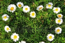 Favourite - Daisies / by Daisy Sunshine