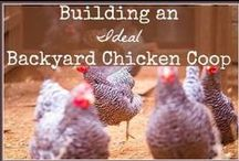 Backyard Chickens / Backyard chickens/poultry. chicken coops, feeders, poultry feed, chicken snacks, water, chicken breeds (bantam and full size). Pretty much anything about chickens I find fun.