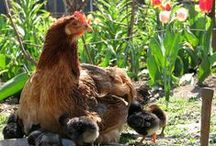Free Range Livestock / Free Range Livestock to keep a farmland clean and free of weeds and other unwanted plants and shrubs. / by Chicken Hearted