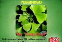 Yeeginkgo / Ginkgo traditionally used to improve blood circulation, Memory, concentration enhancer and antivertigo agent.