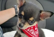 PomChi Chiranian Dog Training / Featuring Chester - b 27/11/15