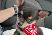 PomChi Chiranian Dog Training / Featuring Chester - b 27/11/15
