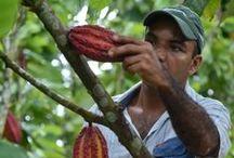 Cacao Plantations