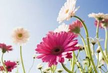 Flowers / Roses, Real, Fake, Daisy's, Pictures, Bunches,