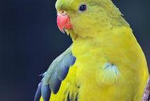 Papoušek kouřový (horský) - Polytelis anthopeplus - Regent Parrot